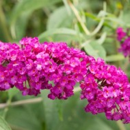 Liliac de vara-Buddleja Davidii Royal Red