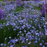 Linum-In decorativ blue