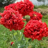 Mac Somniferum Scarlet Peony