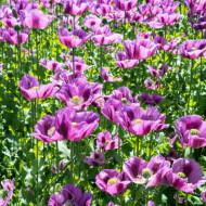 Mac Somniferum Single Lilac