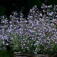 Nepeta cataria blue-Catusnica