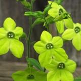 Nicotiana-Regina noptii Lime Green