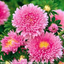 Ochiul boului-Callistephus chinensis Princess pink
