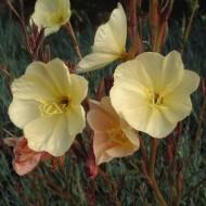 Oenothera Odorata Sulphurea