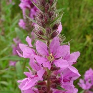 Rachitan-Lithrum Salicaria
