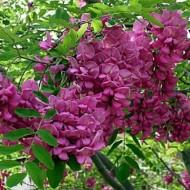 Salcam roz-Robinia viscosa