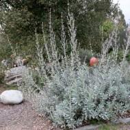 Salvia Apiana-Salvia Alba