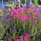 Salvia viridis mix