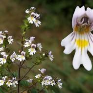Silur-Euphrasia rostkoviana