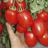Tomate Rio Grande