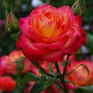Trandafir Alinka