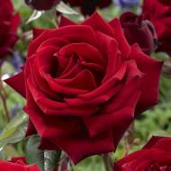 Trandafir Mister Lincoln