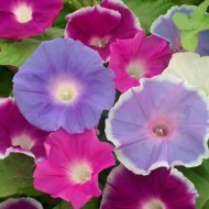Zorele-Ipomoea Nil Early Call Mix