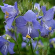 Polemonium Caeruleum-Jacob's Ladder Blue