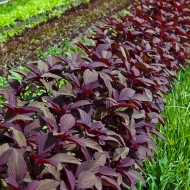 Amaranthus Red Army