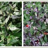 Ardei iute Tricolor variegata