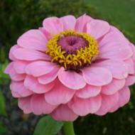 Carciumareasa Roz