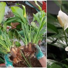 Crinul Pacii-Spathiphyllum wallisii