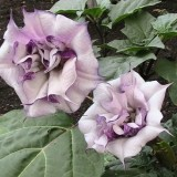 Datura metel Double Purple