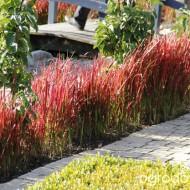 Iarba decorativa Imperata Cylindrica Red Baron