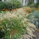Iarba decorativa Melica ciliata