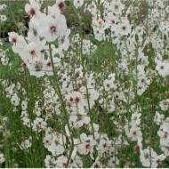 Lumanarica-Verbascum blattaria Albiflorum