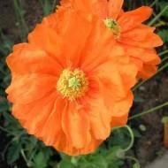 Mac Rupifragum Flore Pleno Double Orange