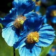 Mac Tibetan blue
