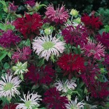 Monarda didyma 'Panorama mix'