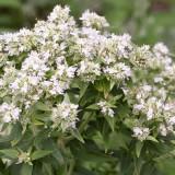 Mountain Mint-Pycnanthemum mix