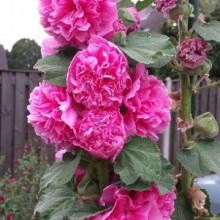 Nalba de gradina Chaters Rose
