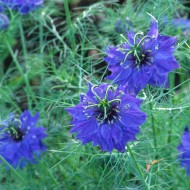 Nigella Damascena Miss Jekyll Dark Blue