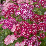 Phlox Drummondii Stars and Stripes