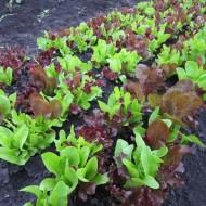 Salata Baby Leaf