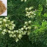 Salcam japonez-Sophora japonica