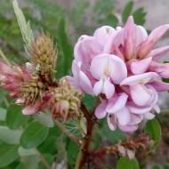 Salcam roz-Robinia Hispida