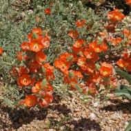 Sphaeralcea coccinea