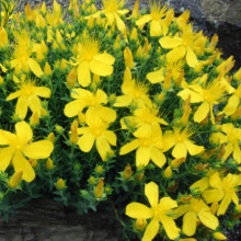 Sunatoare cu flori mari-Hypericum Grandiflorum