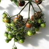 Tomate cherry negre