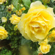 Trandafir Golden Smiles