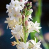 Tuberoze-Polianthes tuberosa
