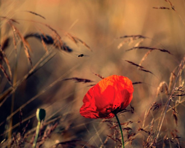 Tablou canvas - floare de mac 01