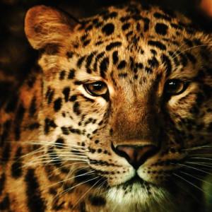 Tablou canvas - Leopard 01