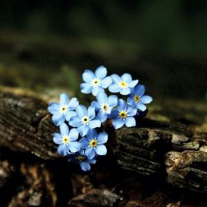 Tablou canvas - albastrele 01