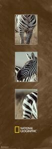 Slika Burchell's zebra, uramljena slika