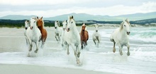 Konji u galopu, uramljena slika 50x100cm