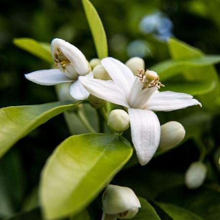 Parfumant cosmetic Neroli Light (Flori de portocal) 10 ml