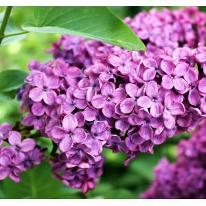 Parfum pentru lumanari Liliac 10 ml