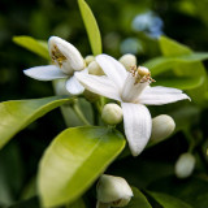 Parfumant cosmetic Neroli Light (Flori de portocal) 10 gr