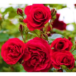 Parfum pentru lumanari Trandafir 10 ml